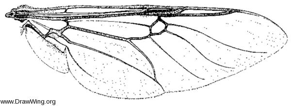 Odontomyia pilimana, wing