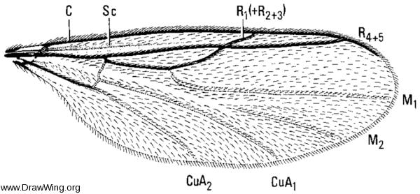 Synneuron decipiens, wing