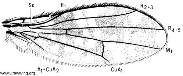 Spilochroa ornata, wing