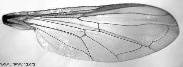Diptera, Syrphidae, Xanthogramma