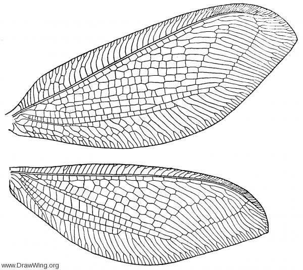 Osmylus hyalinatus, wings