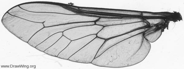 Tabanidae, wing