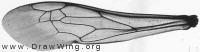 Ammophila sabulosa, fore wing