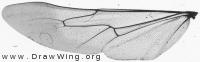 Ammophila sabulosa, hing wing