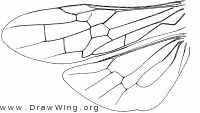 Anaxyelidae, wings