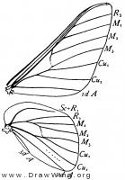 Anisota virginiensis, wings