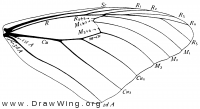 Anosia, fore wing