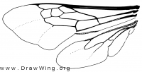 Anthophoridae, wings