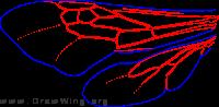 Anthophoridae, wings