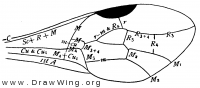 Aulacus fusiger, fore wing