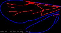 Pristocerinae, wings