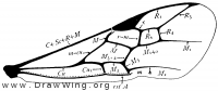 Braconidae, fore wing