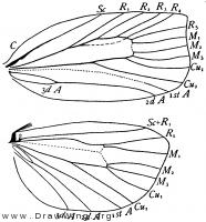 Archips cerasivorana, wings