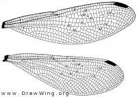 Chalcopteryx rutilans, wings
