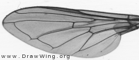 Cheilosia mutabilis, wing