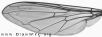 Cheilosia pagana, wing