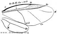 Chermes, wings