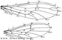 Chloroperla cydippe, wings