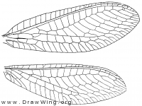 Chrysopa nigricornis, wings