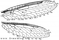 Climaciella brunnea, wings