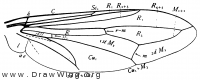 Conops, wing