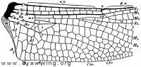 Cordulegaster sayi, base of hind wing