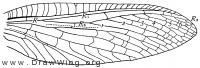 Corydalus cornutus, fore wing