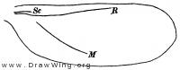 Dactylopius, wing