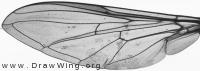 Epistrophe grossulariae, wing