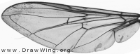 Epistrophe nitidicollis, wing
