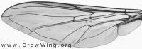 Episyrphus balteatus, wing
