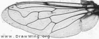 Eristalinus sepulchralis, wing