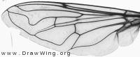 Eristalis interrupta, wing