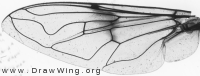 Eristalis lineata, wing