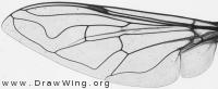 Eristalis similis, wing
