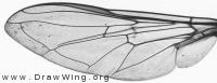 Eupeodes lundbecki, wing
