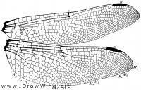 Gomphus descriptus, wings