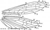 Gripopteryx tessellata, wings