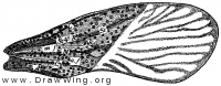 Harmostes reflexus, fore wing