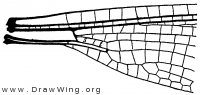 Heliocharis, base of wing