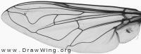 Helophilus trivittatus, wing