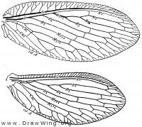 Hemerobius humuli, wings