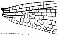 Hetaerina, base of wing