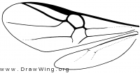 Paxylommatinae, wings