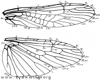 Isogenus, wings