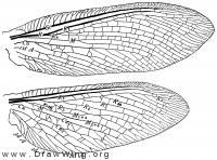 Ithone fusca, wings