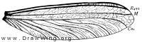 Leucotermes flavipes, hind wing