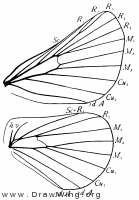 Malacosoma (Clisiocampa) americana, wings