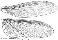 Mastotermes darwiniensis, wings