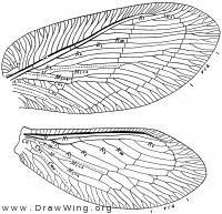 Megalomus moestus, wings